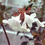 01 - Abelia_x_grandiflora - Edward Goucher Abelia