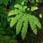 01 - Adiantum_pedatum - maidenhair fern