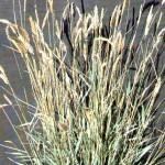 01 - fairway wheatgrass