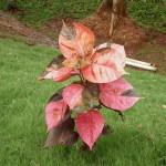 03 - Acalypha_wilkesiana - copper leaf