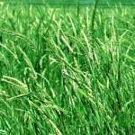 04 - Siberian-Wheatgrass
