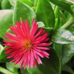 05 - aptenia cordifolia - Red Apple Iceplant