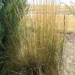 05 - western wheatgrass