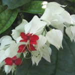 06 - Clerodendrum_thomsoniae_-_bleeding-heart_vine