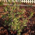 06 - acrtostaphylos densiflora - Lynne's Vine Hill Manzanita