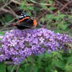 07 - Buddleja_davidii - butterfly bush