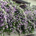 07 - Violet Trumpet Vine