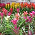 08 - bromeliaceae - bromeliads