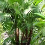 1 - acoelorrhaphe wrightii - paurotis palmjpg