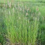 10 - Meadow Foxtail
