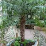 10 - Phoenix roebelenii - pygmy date palm