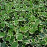10 - algerian-ivy