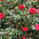11 - Camellia_japonica - Camellia