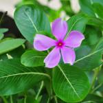 12 - Catharanthus_roseus - Periwinkle