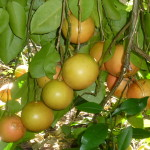 12 - Citrus paradisi - grapefruit