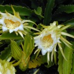 12 - Night_Blooming_Cereus