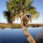 12 - Sabal palmetto - cabbage palm