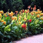 12 - canna x generalis - canna lilly