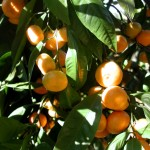 13 - Citrus reticulata - mandarin orange