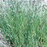 13 - california_brome--bromus_carinatus