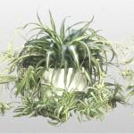 13 - chlorophytum comosum - spiderplant