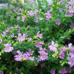 14 - cuphea hyssopifolia - False Heather