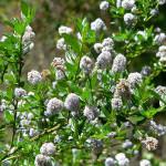 15 - Ceanothus_thyrsiflorus - blue blossomjpg