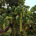 15 - Coccoloba uvifera - sea grape