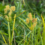 15 - Cyperus - umbrella sedge