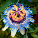 15 - Passion Flower
