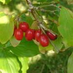 16 - Cornus mas - cherry