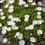 16 - delosperma - White Iceplant