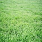 17 - Buffalograss