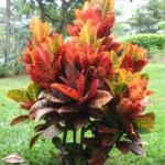 17 - Codiaeum variegatum - croton