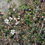 17 - cotoneaster microphyllus - rockspray