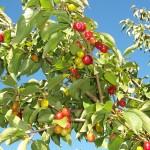 18 - CornusMas - cornelian cherry