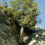 18 - Cupressus sempervirens - italian cypress