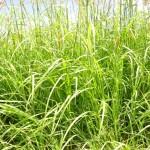 18 - Rhodes Grass