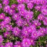 18 - desoanthemum hispidum - Rosea Iceplant