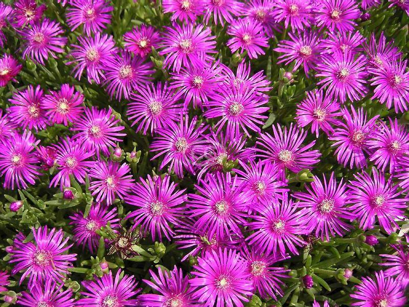 Tolerance of landscape groundcover and vine species to recycled 18 desoanthemum hispidum rosea iceplant mightylinksfo