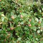 19 - Cotoneaster congestus - pyrenees cotoneaster