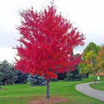 2 - Acer Rubrum - Red Maple
