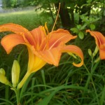 20 - Hemerocallis - Daylily