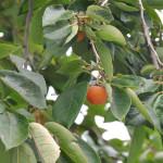 20 - diosphyros virginiana - american persimmon