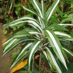 21 - Dracaena.deremensis - dracaena