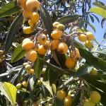 21 - Eriobotrya Japonica - Loquat