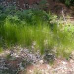 22 - Slender Hairgrass
