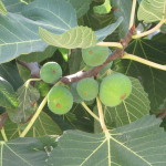 23 - Ficus carica - edible fig