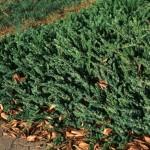 23 - juniperus conferta - Shore Juniper