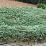 24 - Juniperus horizontalis - Creeping Juniper